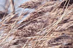 Dry reed on the lake, reed layer, reed seeds. Golden reed grass in the fall in the sun. Abstract natural background. Beautiful pattern with neutral colors. Minimal, stylish, trend concept.Pampas grass