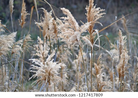 Dry reed on the lake, reed layer, reed seeds. Golden reed grass in the fall in the sun. Abstract natural background. Closeup image #1217417809