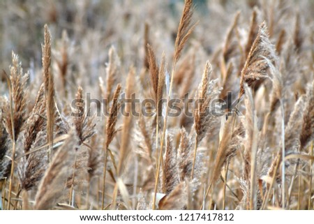 Dry reed on the lake, reed layer, reed seeds. Golden reed grass in the fall in the sun. Abstract natural background. Closeup image #1217417812