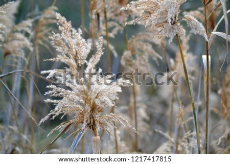 Dry reed on the lake, reed layer, reed seeds. Golden reed grass in the fall in the sun. Abstract natural background. Closeup image #1217417815