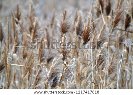 Dry reed on the lake, reed layer, reed seeds. Golden reed grass in the fall in the sun. Abstract natural background. Closeup image #1217417818
