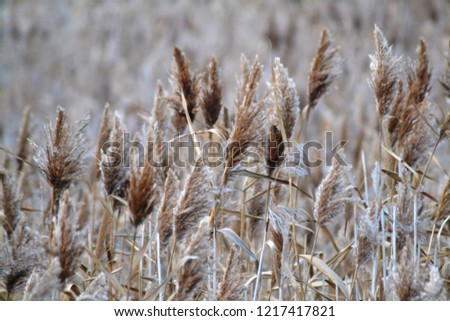 Dry reed on the lake, reed layer, reed seeds. Golden reed grass in the fall in the sun. Abstract natural background. Closeup image #1217417821