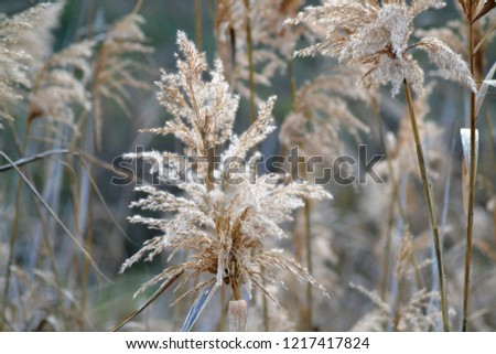 Dry reed on the lake, reed layer, reed seeds. Golden reed grass in the fall in the sun. Abstract natural background. Closeup image #1217417824