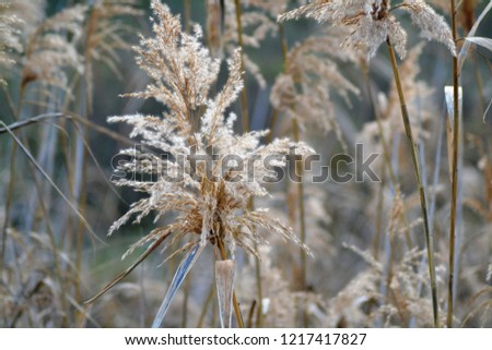 Dry reed on the lake, reed layer, reed seeds. Golden reed grass in the fall in the sun. Abstract natural background. Closeup image #1217417827