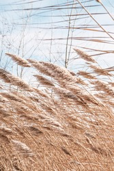 Dry reed on the lake, reed layer, reed seeds. Golden reeds on the lake sway in the wind against the blue sky. Abstract natural background. Beautiful pattern with neutral colors. Pampas grass