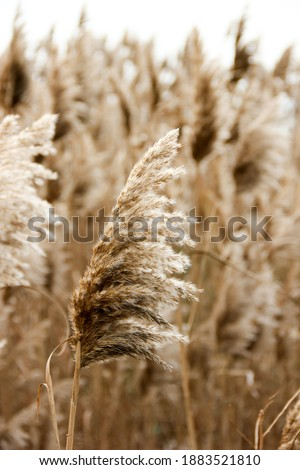 Dry reed outdoor in light pastel colors, reed layer, reed seeds. Beige reed grass, pampas grass. Abstract natural background. Beautiful pattern with neutral colors. Minimal, stylish, trend