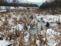Dry reed plants growing in natural basin covered by snow. Winter landscape with dusty blue ice on the frozen swampland.