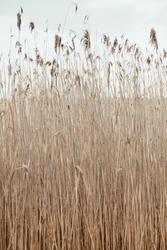 Dry reed stalks field. Minimal nature background.