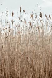 Dry reed stalks field. Minimal nature landscape background.