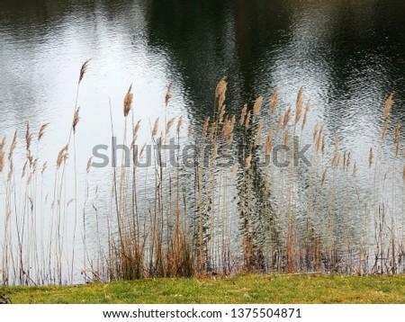 Dry reed stalks, Phragmites australis, by the lake