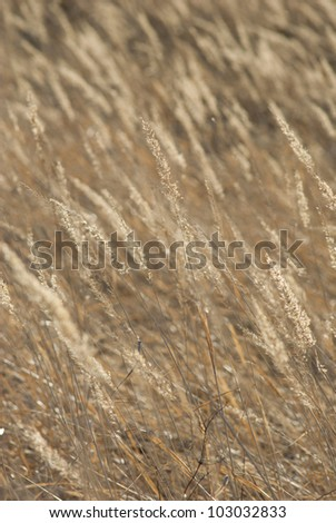 dry reeds at fall, back light