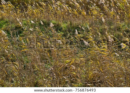 Dry reeds in autumn. Reeds in a field.  #756876493