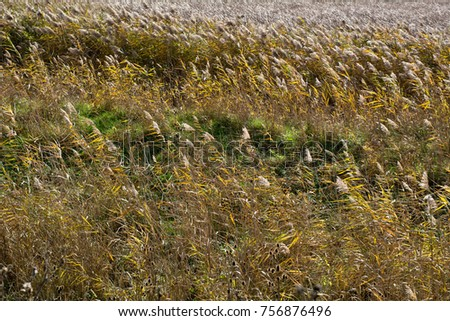 Dry reeds in autumn. Reeds in a field.  #756876496