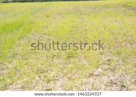 Dry rice and dry ground