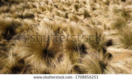 Dry savanna during the dry season. Yellow savanna grass in the wind. Savana in the sumbing dead crater, Central Java (Indonesia) Foto stock ©