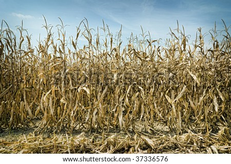 Dry season in a corn field