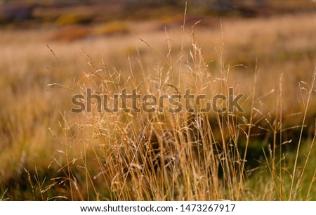 Dry spikelets sunny autumn day close up. Vegetation diversity. Plants resistance climate conditions. Spikelets grow in field. Vegetation of field or valley. Vegetation of Iceland concept.