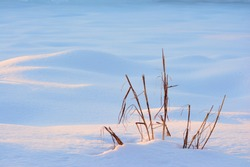 dry stalks of weeds at golden light in winter snow