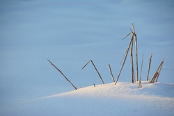 dry stalks of weeds at golden light in winter snow, horizontal shot
