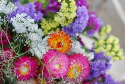 Dry straw flower or everlasting dry bouquet ,Xerochrysum bracteatum.