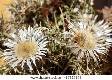 Dry thistle (carduus)