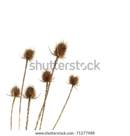 Dry thistle isolated on white