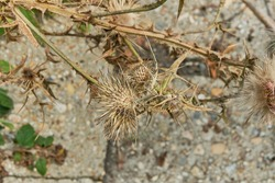 Dry thorny carduus or plumeless thistles.