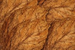 Dry Tobacco leaves background, close up. High quality tobacco  big leaf, macro close up