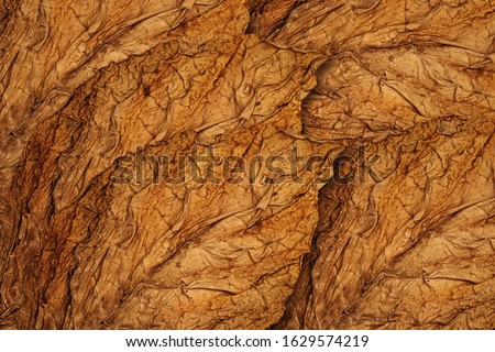 Dry Tobacco leaves background, close up. High quality tobacco  big leaf, macro close up Stock photo ©