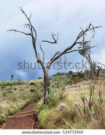 Dry tree by the path to the top of Kilimanjaro - Tanzania