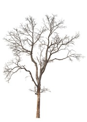 Dry tree dead on a white background