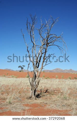 Dry tree in Namib desert, picture taken in Namibia, Africa