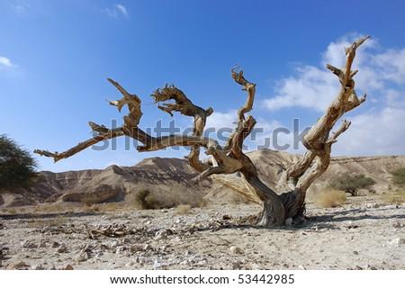Dry tree in Negev Desert, Israel. - stock photo