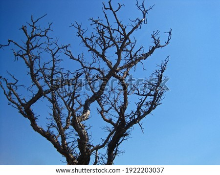 DRY TREE WITH SCRAGGLY GREY BRANCHES AGAINST BLUE SKY                                Stock foto ©