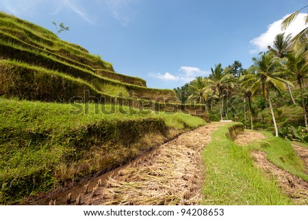 Dry Ubad Rice Terraces, in Bali