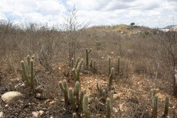 Dry vegetation of northeastern Brazil. This image can be used on drought related topics.
