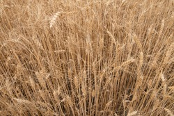 dry wheat field, wheat golden ears background.