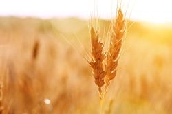 dry wheat stem close up