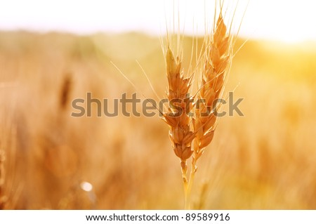 dry wheat stem close up
