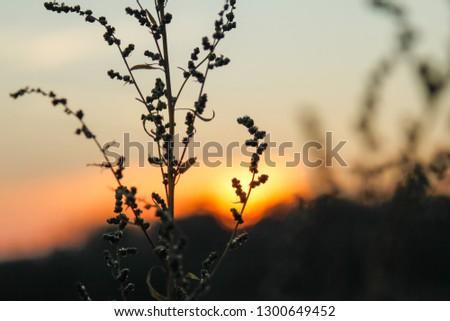 Dry wild plants on meadow, winter sunset #1300649452
