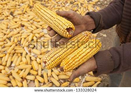 dry yellow corn for food in the winter