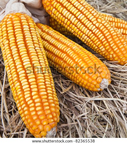 dry yellow corn on straw background