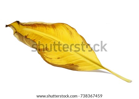 dry yellow Spathiphyllum leaf #738367459