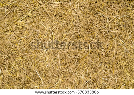 Dry yellow straw grass background texture after havest  #570833806