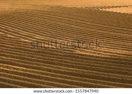 Dryed wheat under the sunlight #1557847940