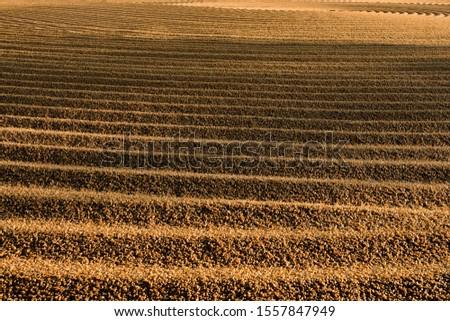 Dryed wheat under the sunlight #1557847949