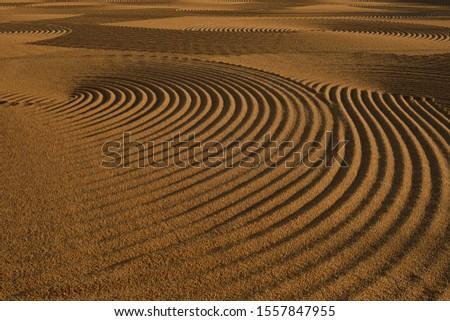 Dryed wheat under the sunlight #1557847955