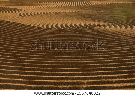 Dryed wheat under the sunlight #1557848822