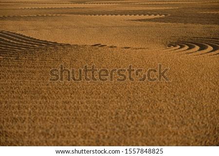 Dryed wheat under the sunlight #1557848825
