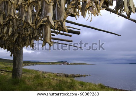 Drying cod fish, traditional Norwegian delicacy